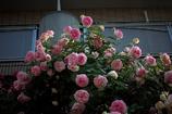 街の薔薇⑦