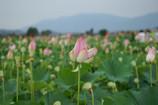 藤原京跡の蓮の花③