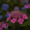 紫陽花の季節開幕