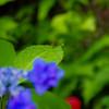 三室戸寺の紫陽花・ガガンボ