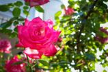 街の薔薇⑨