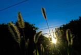 夕陽のエノコログサ