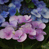 今年の紫陽花①