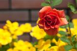 街の薔薇①