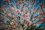 今年の桜④
