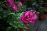 街の薔薇⑥