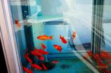 金魚BOX?