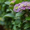 今年の紫陽花②