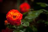街の薔薇③