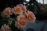 街の薔薇⑤