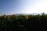 葛城山麓のひまわり畑