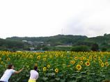 五條市上野公園のひまわり畑③