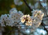 近所の桜③