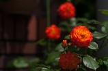街の薔薇②