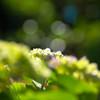 紫陽花の季節②