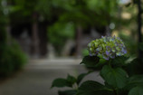 今年の紫陽花③