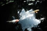 方丈庭園の鯉