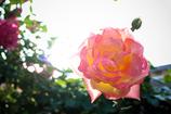 街の薔薇④