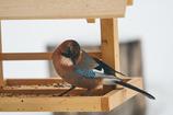 庭に来る野鳥たち Ⅱ