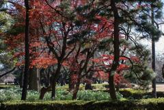 新宿御苑【新宿門あたりの紅葉】①20181215