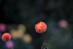 神代植物公園【ダリア:マーマレード】