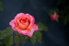 生田緑地ばら苑【薔薇:アルブレヒト・デューラー・ローゼ】20170520