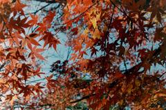 新宿御苑【上の池あたりの紅葉】④20181215