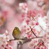 【新宿御苑(寒桜とメジロ)】①20160221