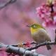 【新宿御苑(寒桜とメジロ)】③20160221