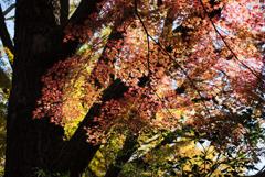 新宿御苑【上の池あたりの紅葉】②20181215