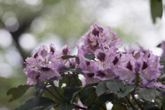 神代植物公園【石楠花:ブルーピーター】20180503