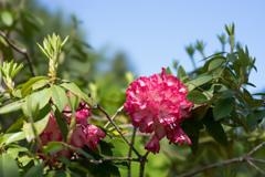 神代植物公園【石楠花:ミセス・ルーズベルト】20170423