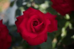 生田緑地ばら苑【薔薇:グランデアモーレ】②20170520