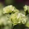 神代植物公園【薔薇:緑光】20170527