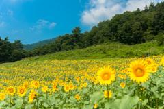 【大岩フラワーガーデン・ヒマワリ】①20140822