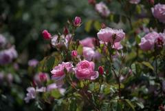 生田緑地ばら苑【薔薇:ボウベルズ】20170520
