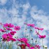 【里山ガーデンのコスモスと青空】②20171008