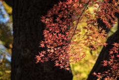 新宿御苑【上の池あたりの紅葉】③20181215
