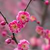 皇居東御苑【早咲き梅:八重寒紅】②20180211