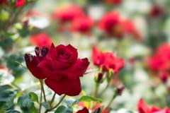 生田緑地ばら苑【薔薇:グラッドタイディングス】①20170520