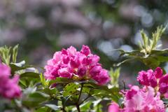 神代植物公園【石楠花:ドクター・エンズ】20180503
