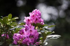 神代植物公園【石楠花:ロゼウム・エレガンス】20180503