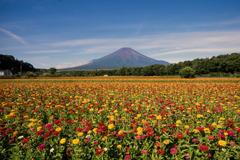 富士五湖巡り【花の都公園:ジニアと富士】20180818