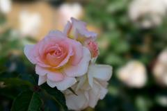 生田緑地ばら苑【薔薇:スプリングコサージュ】20170520