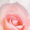 大船植物園【薔薇:マチルダ】②20170518