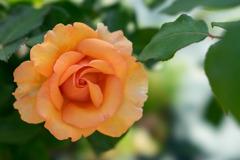 生田緑地ばら苑【薔薇:オール・ユアーズ】20170520