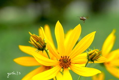 写真掌編:菊芋をめぐる冒険4:蜜蜂巡覧