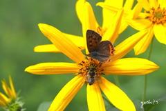 写真掌編:菊芋をめぐる冒険 10:紅シジミと蜜蜂との対話