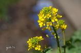 写真句:菜の花