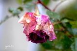 写真句:枯れる薔薇